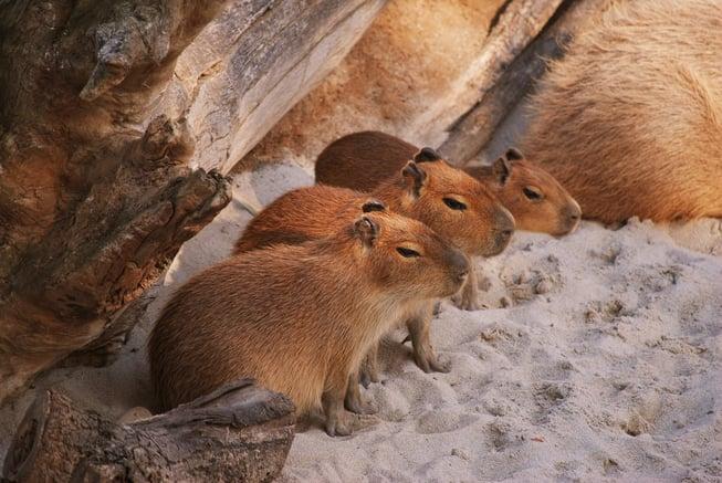 capybara babies