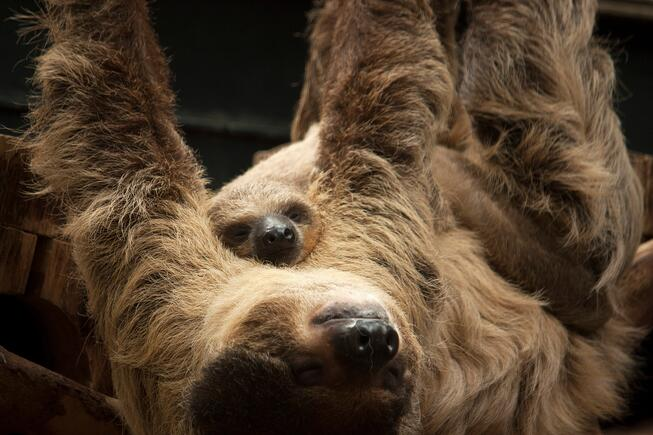 mama and baby two-toed sloth