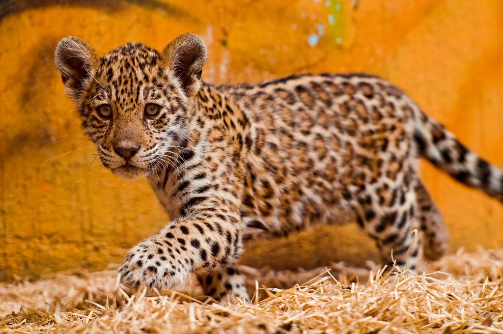 Image of: Coloring Pages Baby Spotted Jaguar Pachamama Alliances Blog These Baby Amazon Animals Will Melt Your Heart