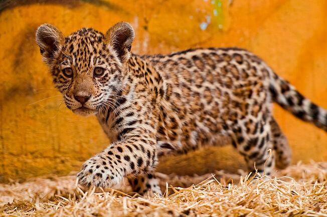 baby spotted jaguar