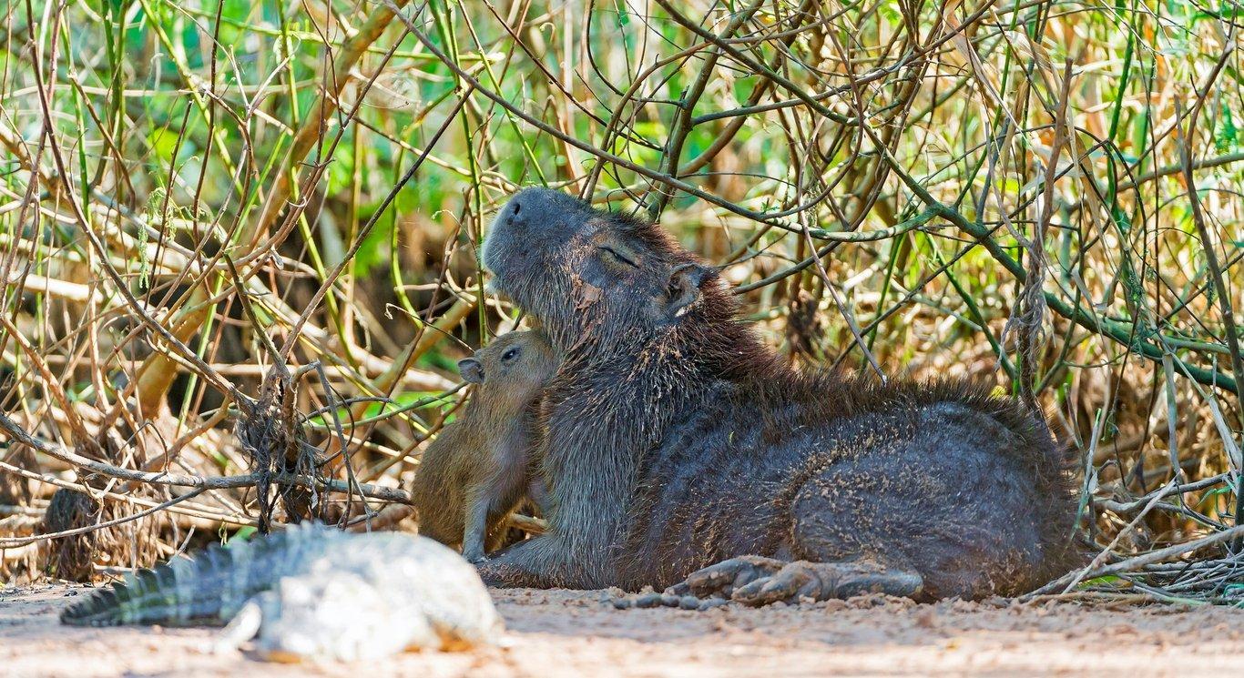 baby and mama capybara