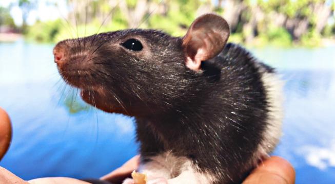 rats helping humans